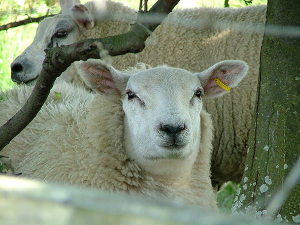 The Parks Trust Sheep Attack
